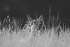 Hiding in the long grass (adam_moralee) Tags: hidding long grass wildlife wild life deer doe animal black white blackwhite bw wb somerset devon hemyock villagelife countrylife nikond7100 nikon d7100 adam moralee adammoralee sigma150500mm lens blue outdoors nature beautiful stunning wow