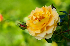 Rosengarten Part II (Tommes80) Tags: rosen blumen vollformat sony sonne sommer blüte gelb sonyalpha7iii gmaster