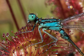 Damselfly trapped by Sundew