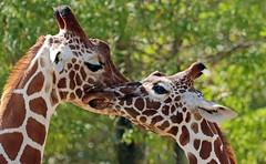 reticulated giraffe artis JN6A6010 (j.a.kok) Tags: giraffe giraffacamelopardalisreticulata giraffacamelopardalis netgiraffe giraf reticulatedgiraffe animal artis africa afrika mammal herbivore zoogdier dier hoefdier