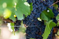 It's time for harvest #4 (ZeGaby) Tags: 4 berries bokeh champagne naturephotography pentaxda300mm pentaxk1 pinotnoir vines vineyards grapevine avenayvaldor marne france fr
