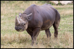 Lawn Mower (KRIV Photos) Tags: blackrhinoceros rhinoceros uk yorkshirewildlifepark animal
