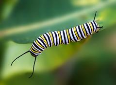 Monarch Caterpillar (arlene sopranzetti) Tags: monarch caterpillar union county nj black yellow