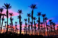 Desert Trees Sunset (Spebak) Tags: spebak canon canondslr canon70d sunset sunsetwednesday quartasunset desertsunset palms palmtrees clouds skyonfire silhouettes definingbeauty beauty nature outdoors landscape