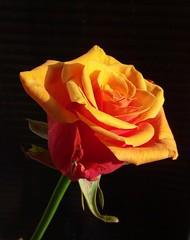Anna's rose (marek&anna) Tags: rose anna krakow