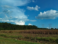 Corn Field. (dccradio) Tags: lumberton nc northcarolina robesoncounty outdoor outdoors outside corn cornfield sky bluesky cloud clouds tree trees wooded woods field grass lawn greenery powerlines powerpoles utilitylines utilitypoles electriclines electricpoles september sunday evening ag agricultural agriculture farm farming photooftheday photo365 project365 samsung galaxy smj727v j7v cellphone cellphonepicture