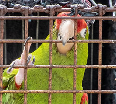 Jail Bird (doing time..) (Andy J Newman) Tags: steamfair dorset gdsf blandford nikon bar 50thanniversary d500 cage plumage bird parrot beak steam tarranthinton england unitedkingdom gb