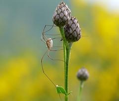 p1050254 (claudiopoli) Tags: animali animalia arthropoda arachnida opiliones autouploadfilenamep1050254jpg