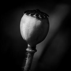 Summers End (wowafo) Tags: macro makro sonyalpha6000 blackwhite mohnkapsel capsule poppy end ende sommer harvest herbst fall summer summersend