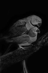 Bird Business (MudMapImages) Tags: parrot birds mating ringneckedparrot