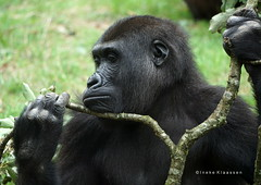 Gorilla (Ineke Klaassen) Tags: gorilla gorillas animals zoo burgerszoo burgers dieren sony sonyimages sonya6000 sonyalpha sonyalpha6000 sonyilce6000 ilce photography animallife animali animales animaux 2018 1000views 1500views 50fav 50favs 50faves 5075fav 2000views 55fav 55faves 55favs 2500views