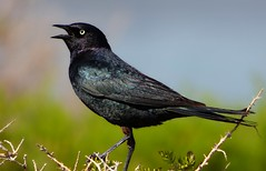 Brewer's Blackbird (linda long) Tags: birds avian blackbirds perching singing wildlife nature