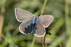 Azuré commun (f) - Common Blue (f) (dom67150) Tags: argusbleu azurécommun azurédelabugrane butterfly commonblue female femelle insect insecte nature papillon polymmatusicarus