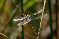 silver wings (husiphoto) Tags: dragonfly schilf reed insekt insect natur nature tier animal silber silver wings flügel d7100 nikon tamron 100400mm