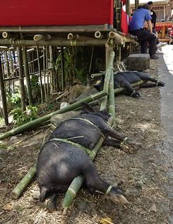 INDONESIEN, Sulawesi - Traditionelle Totenfeier der Toraja bei Makale , 17632/10643