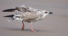 Juvenile Seagull (jonge zeemeeuw) (moniquedoon) Tags: gull meeuw juvenile nature beach holland scheveningen bird birds vogel birdwatching naturewatch autumn sand wildlife