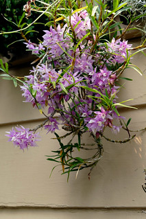 Dendrobium hercoglossum 1-1 orchid species 8-18
