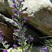 Echium vulgare (Viper's Bugloss)
