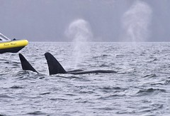 T19C and T19B (sjr627) Tags: transient killer whales orcas biggs t18s southern gulf islands