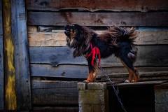 Tibetan Mastiff (Rod Waddington) Tags: china chinese tibetan mastiff dog giant animal guard barking building yunnan shangrila