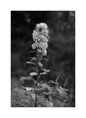FM XXVII (*TimeBeacon*) Tags: woundwort goldenrod solidagovirgaurea plant flower closeup blackandwhite blackwhite bw bnw monochrome tb