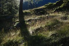 quand le soleil se pointe (bulbocode909) Tags: valais suisse siviez montagnes nature arbres troncs mélèzes prairies vert ombres