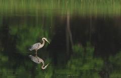 Great Blue Heron (Ardea herodias) (Gavin Edmondstone) Tags: ardeaherodias greatblueheron brontecreek oakville ontario heron bird
