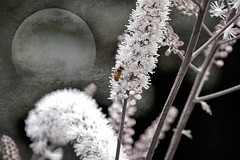 still (1crzqbn) Tags: 38522018 inmygarden bee flowers moon cimicifuga bugbane sunlight