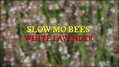 Slow Mo Bees - White Lavender (Mark Rigler -) Tags: animal macro outdoor insect bee wasp depthoffield grass plant heather slow mo motion high framerate sony rx10 250 500