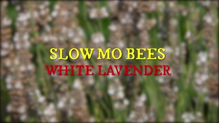 Slow Mo Bees - White Lavender