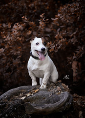 Taxi (Alexandremqs) Tags: explore expression dogs doglove jack russel small woman blonde portugal portrait pets perro pose photography yourbestoftoday warm autumn beautiful simply photoshoot smile happydogsday hapiness background leaves trees lifestyle