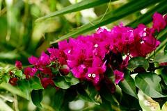 Flowers (Jurek.P) Tags: bougainvillea bugenwilla flowers kwiaty roślina plants closeup ogródbotaniczny botanivalgarden jurekp sonya77