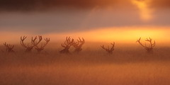 Chewing the cud at sunrise (Hammerchewer) Tags: reddeer deer stags wildlife outdoor animal