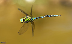 Southern Hawker. (spw6156 - Over 6,560,030 Views) Tags: southern hawker not macro shot taken 600mm copyright steve waterhouse