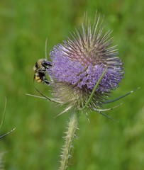 Common Teasel and Bee (Boulder Flying Circus Birders) Tags: commonteasel dipsacusfullonum commonteaselcolorado commonteaselboulder bee beecolorado beeboulder wildbirdboulder wildbirdcolorado boulderflyingcircusbirders freebirdwalk saturdaymorningbirders eileenrutherford