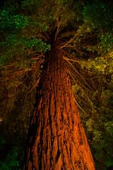 Redwood Magic (vanessa_macdonald) Tags: redwood fairy lights nightphotography butchartgardens butchart gardens longexposure nightlights magic sequoia night enchanting winter wonder westcoast
