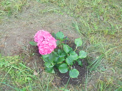 186 (en-ri) Tags: ortensia rosa verde foglie leaves sony sonysti erba grass