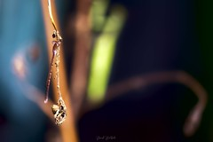 Menace pesante (David Bertholle) Tags: agrion mante religieuse mantis macro makro nature insect sigma beautiful light ombre lumière d7200 dof bokeh d