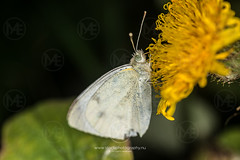 Small white butterfly on a yellow flower (Arno Enzerink) Tags: alone animalia antennae butterfly closeup copy copyspace dots dotted euarthropoda flower flowering gathering honey insect insecta lepidoptera macro nature negativespace one pieridae pieris pierisrapae rapae single small smallwhite space spots spotted white yellow