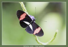Small postman (Jan H. Boer, Nature photographer) Tags: heliconiuserato smallpostman butterflies insects nature macro costarica turrúcares mybackyard nikon d500 afsnikkor200500f56eedvr jan´sphotostream2018