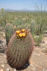 Saguaro National Park (markusOulehla) Tags: carnegieagigantea carnegiea arizona saguaronationalpark usa uswildlife markusoulehla oulehla nikon nikonnature nikond90 arizonalandscape saguaro cactus kaktus kakteen signalhill