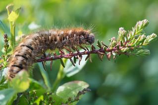 From the dew-soaked hedge creeps a crawly caterpillar...