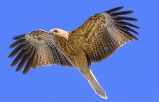 alice river - whistling kite