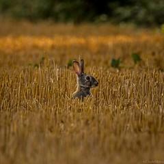 Affût (Claudel Malory) Tags: lapin champs animalier blé france photographieanimalière faune animaux