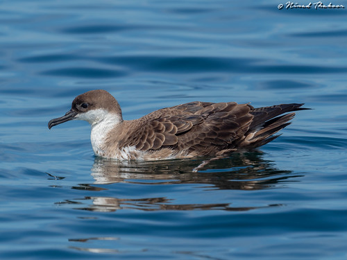 """Great Shearwater (Lifer) • <a style=""""font-size:0.8em;"""" href=""""http://www.flickr.com/photos/59465790@N04/42838511350/"""" target=""""_blank"""">View on Flickr</a>"""