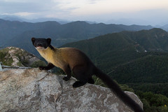 Yellow-throated-Martin (Praveen Purohit) Tags: photography nature wildlife himalayas marten wideangle mountains india wildlifephotography sunset yellowthroatedmarten uttarakhand layers clouds green blue