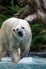 Zoo La Flèche (GL Showa) Tags: zoo zoolaflèche ours ourspolaire