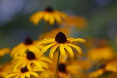 "Die Rückkehr des ""Bokeh-Bombers"" - Canon EF 85mm f1.8 (alterahorn) Tags: dxo canonteleobjektiv teleobjektiv 85mm canonef85mm canon85mm canonef85mmf18 canoneos40d gelb yellow jaune closeup igelköpfe sonnehut echinacea herbst autumn flowers canon"