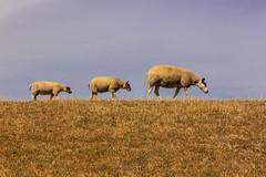 The Daltons sheep (Gerald Schuring) Tags: terschelling skylge eiland isle wad geraldschuring gerald schuring schapen sheep dijk waddenkust