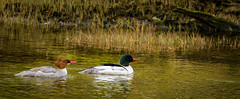 PAIR OF MERGANSERS (Sandy Hill :-)) Tags: birds ducks shorebirds birdsofvancouverisland birdsofnorthamerica birdsofthepacificnorthwest birdsofcanada sandyhill sandyhillphotography
